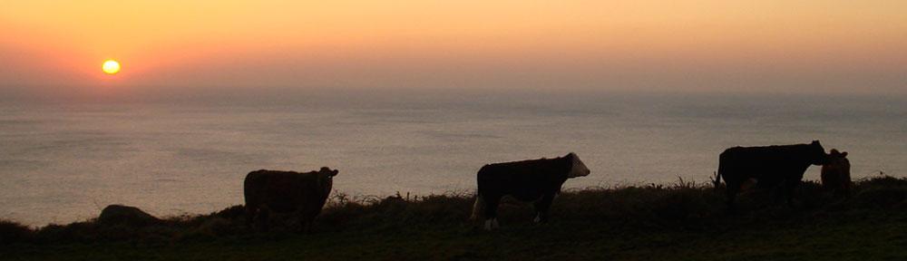 Sacred holy Cows